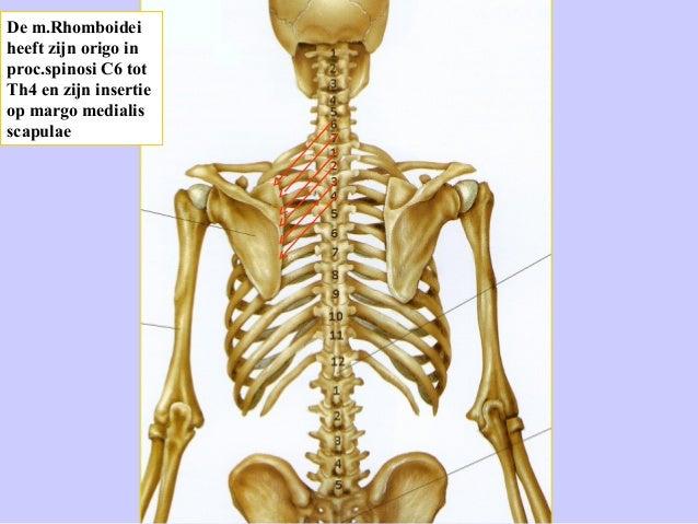 Dorsale spieren van rug en schoudergordel