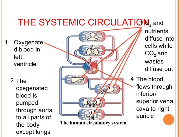 human body systems diagram worksheets