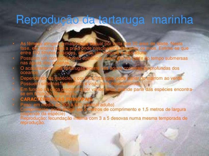 Reprodução da tartaruga marinha.•   As fêmeas atingem a maturidade sexual por volta dos 30 anos de idade. Nesta    fase, e...
