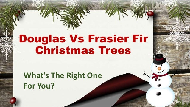 douglas vs frasier fir christmas trees whats the right one for - Frasier Christmas Tree