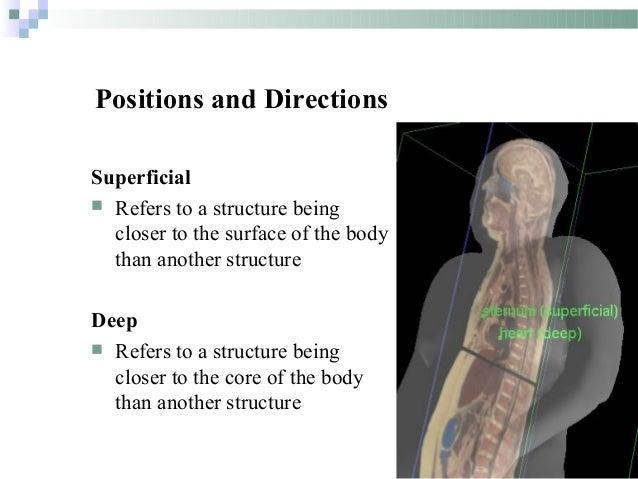 Deep anatomy term
