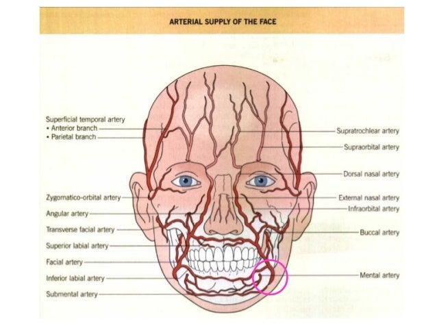 Facial artery and vein