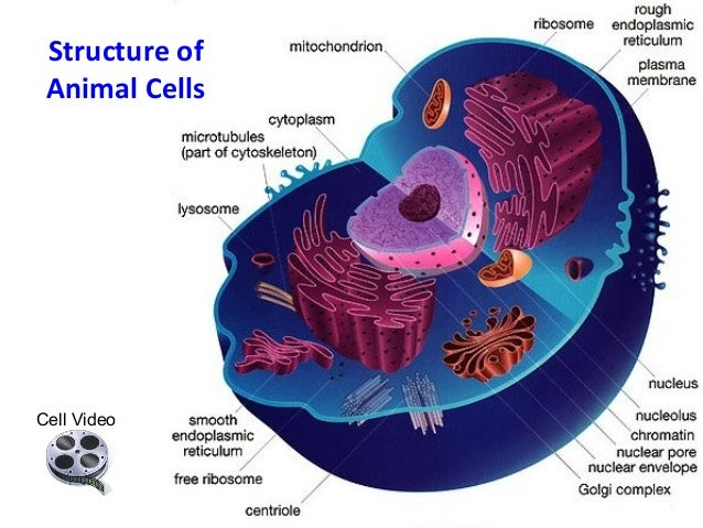 Anatomy of the animal cell
