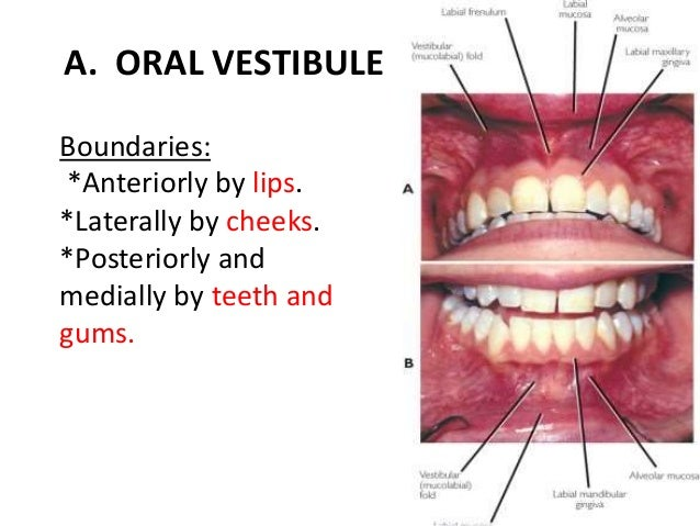 Drmustafa Haddad Anatomy Of Oral Cavity