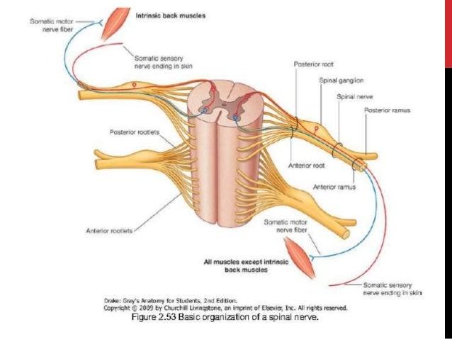 Inside Vertebrae Diagram - DIY Enthusiasts Wiring Diagrams •
