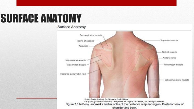 Surface Anatomy Shoulder Popular Web Photo Gallery With Surface
