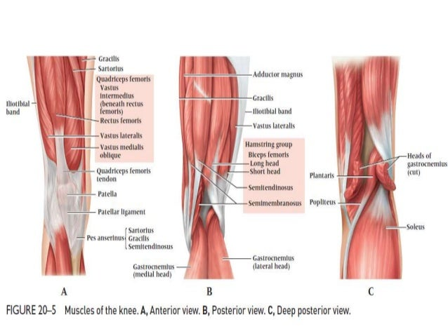 Knee diagram muscles ligaments circuit connection diagram dr anurag applied anatomy of knee rh slideshare net knee anatomy diagram ligaments knee ligament tear ccuart Image collections