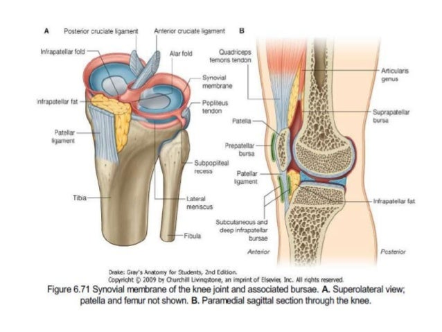 Dr anurag applied anatomy of knee 24 ccuart Choice Image