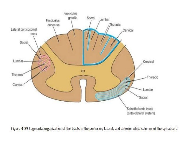 spinal cord and applied aspects of spine