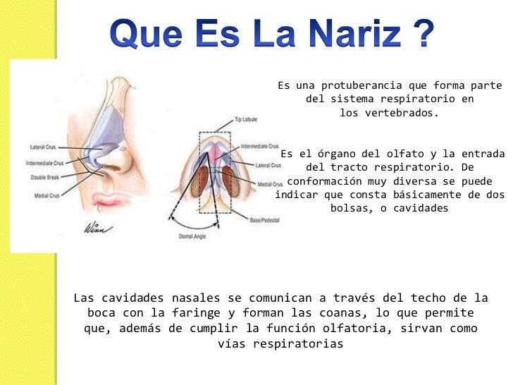 La forma de la nariz humana está determinada por     el hueso etmoides y por el tabique nasal.La nariz se divide en dos co...