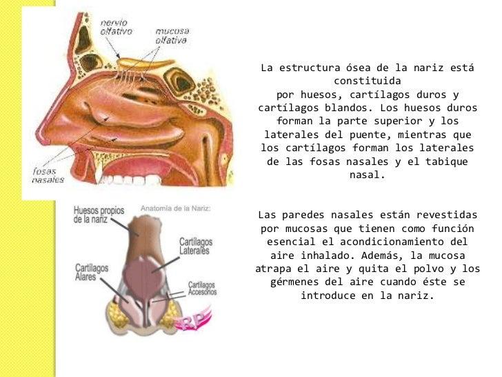 La nariz presenta una doble función: es el órgano  primario que se utiliza en la olfacción de los diferentes vertebrados, ...