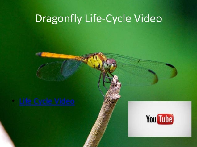 Dragonflies ppp