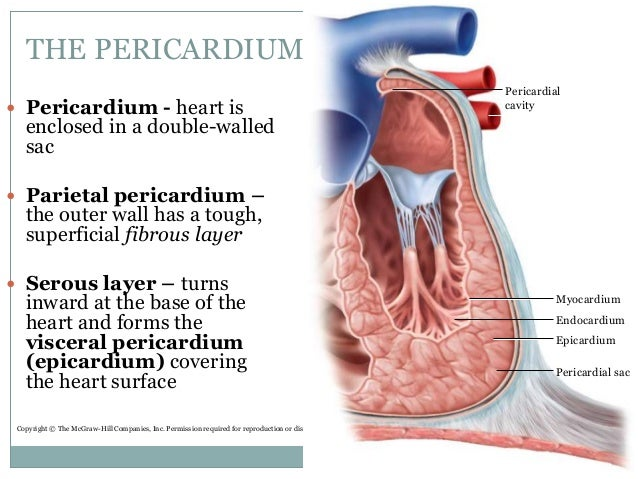 Wall and pericardium heart diagram search for wiring diagrams circulatory system 19 1 19 2 rh slideshare net heart of the conduction system the heart of the wall and label layers pericardium ccuart Image collections