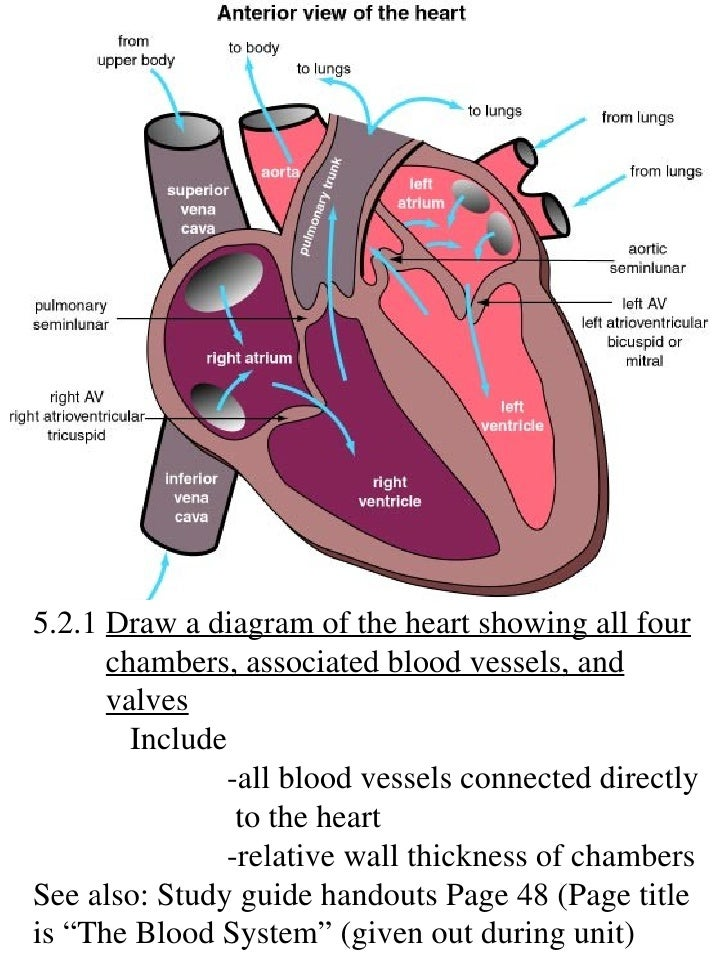 Diagram Of The Heart Showing Valves - Auto Wiring Diagram Today •