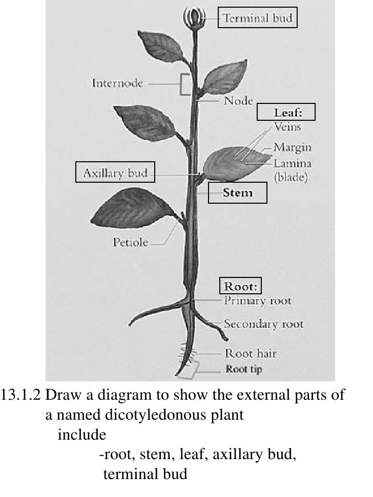 Drawing of flower diagram electrical drawing wiring diagram ib biology draw assessment statements rh slideshare net hibiscus flower drawings flower diagram to label ccuart Gallery