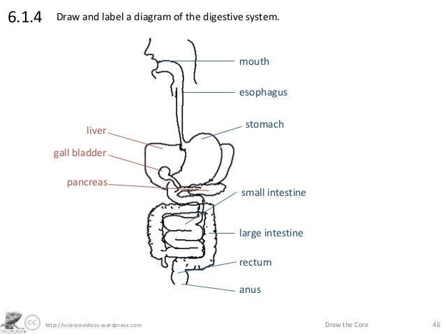 The drawn diagram of digestive system online schematic diagram http sciencevideos wordpress com draw the core 466 1 4 rh slideshare net draw a neat labeled diagram of digestive system printable digestive system diagram ccuart Images