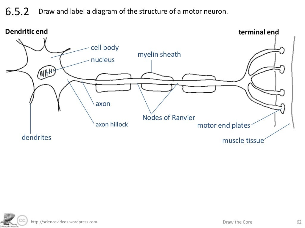 http sciencevideos wordpress com draw the core 626 5 2 rh slideshare net draw a labelled diagram showing the structure of a motor neuron draw and label a diagram showing the structure of a dicotyledonous animal-pollinated flower