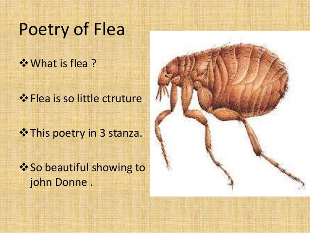"""donnes metaphysics or the flea bite essay A summary of """"the flea"""" in john donne's donne's poetry or section of donne's poetry and what it means perfect for acing essays, tests."""