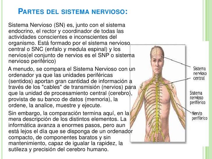 Famoso Tres Partes Del Sistema Nervioso Ornamento - Anatomía de Las ...