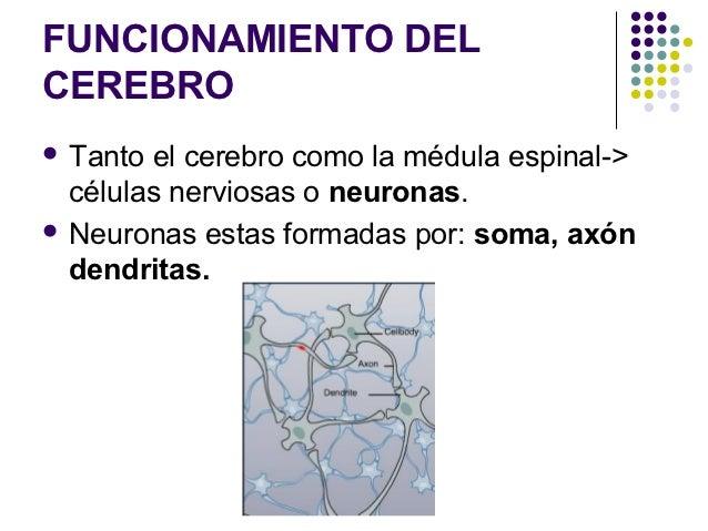 FUNCIONAMIENTO DELCEREBRO Tanto el cerebro como la médula espinal->  células nerviosas o neuronas. Neuronas estas formad...
