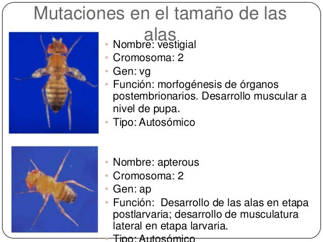 Mutaciones Morfolgicas en Drosophila melanogaster