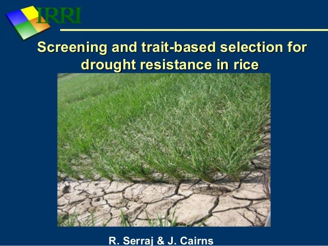 thesis on drought tolerance in rice Breeding for drought tolerance in any given crop, has immense value to the farmers as their livelihood depends on the harvest(s) it bears a positive effect on the.