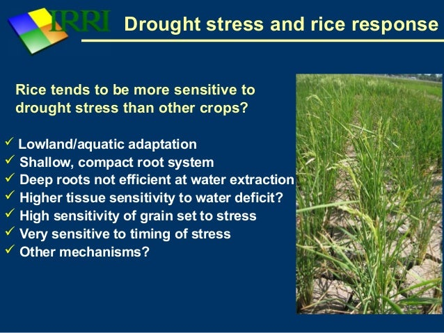 thesis on drought tolerance in rice Rice is the one of the oldest crop cereals in asia and has been grown since ancient times in the present study, a rice diversity panel was exposed to drought and drought recovery was scored to identify qtls and candidate genes related to drought resistance.