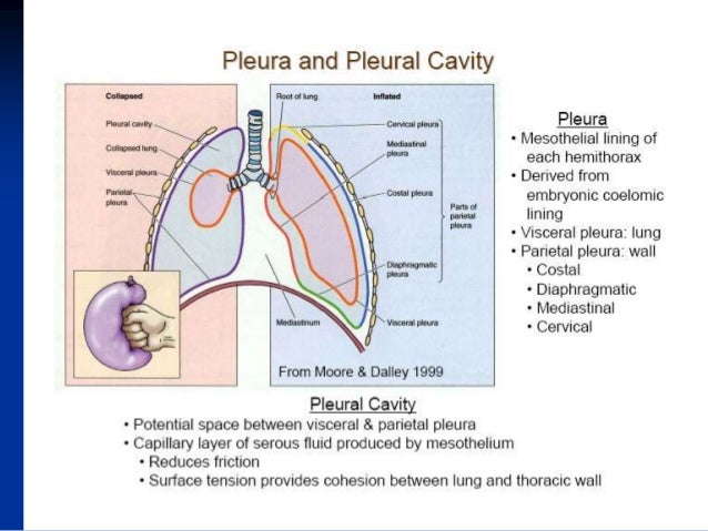 Diagram Of Pleural Space - Search For Wiring Diagrams •
