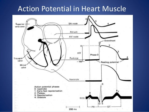 Drugs affecting cardiac action potential how action potential proceeds 4 action potential in heart muscle ccuart Image collections