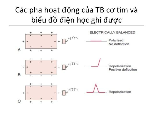 Các  pha  hoạt  động  của  TB  cơ  Im  và   biểu  đồ  điện  học  ghi  được