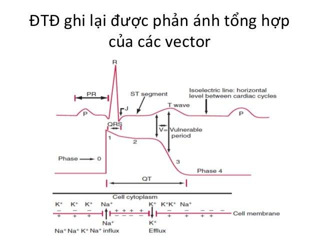 ĐTĐ  ghi  lại  được  phản  ánh  tổng  hợp   của  các  vector