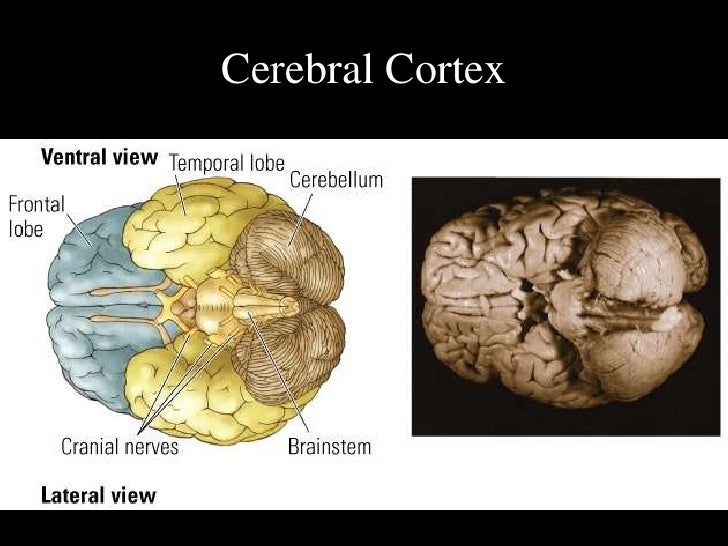 psychology notes brain View notes - psychology notes from psyc 100 at mcgill psychology notes: chapter 4: the brain and consciousness phrenology: early method of assessing personality traits and mental abilities.
