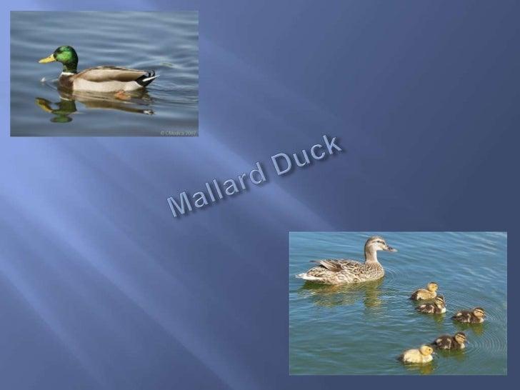 Mallard Duck<br />