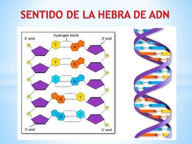 La molécula de ADN se abre comouna cremallera por ruptura de lospuentes de hidrógeno. De     esta     forma,     cadanueva...