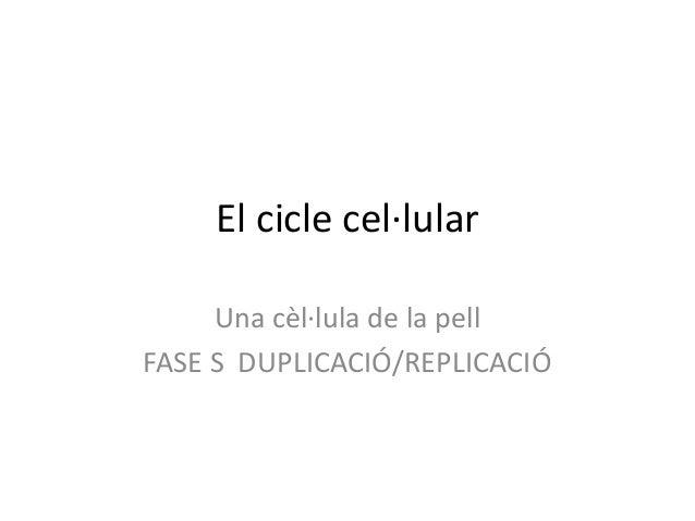 El cicle cel·lularUna cèl·lula de la pellFASE S DUPLICACIÓ/REPLICACIÓ