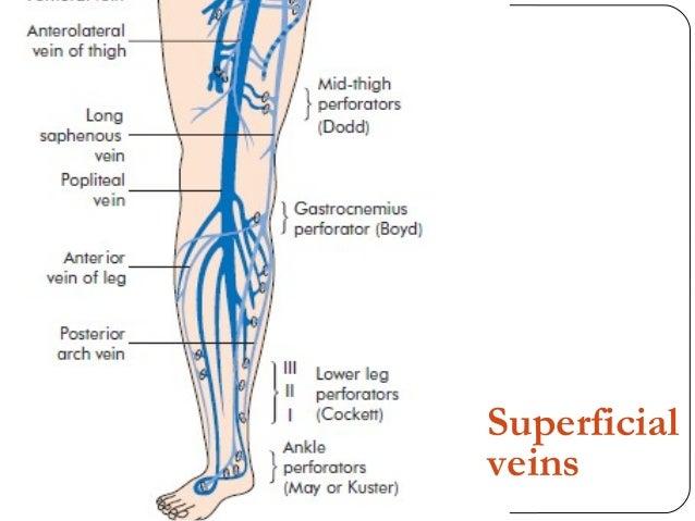gastrocnemius artery - photo #3