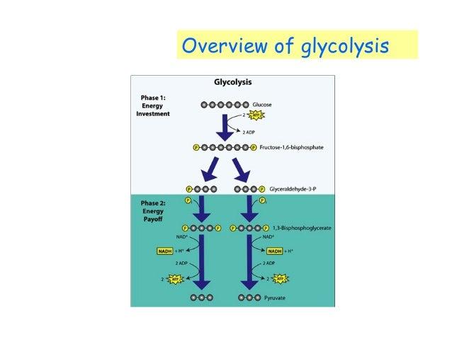 13 Biochemistry _ Glycolysis