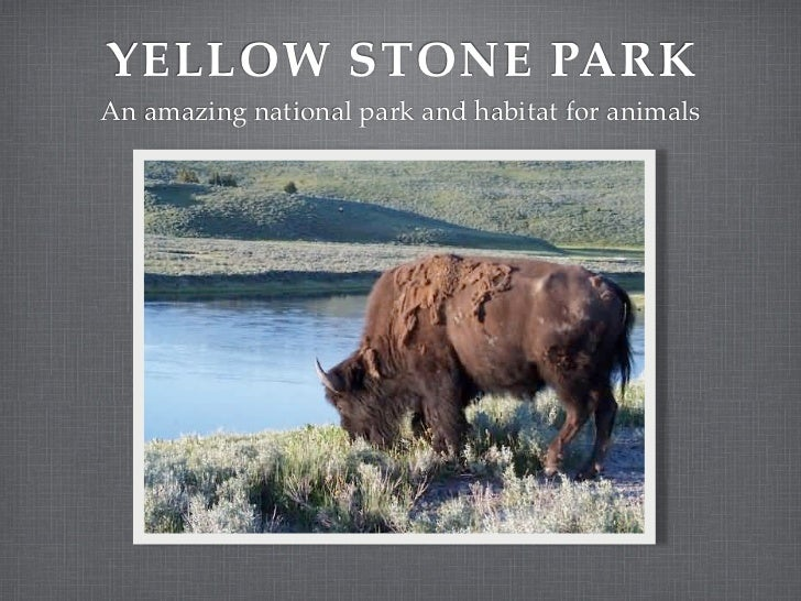YELLOW STONE PARKAn amazing national park and habitat for animals