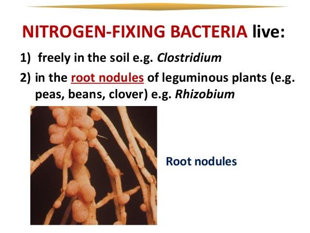 the relationship between nitrogen fixing bacteria and leguminous plants
