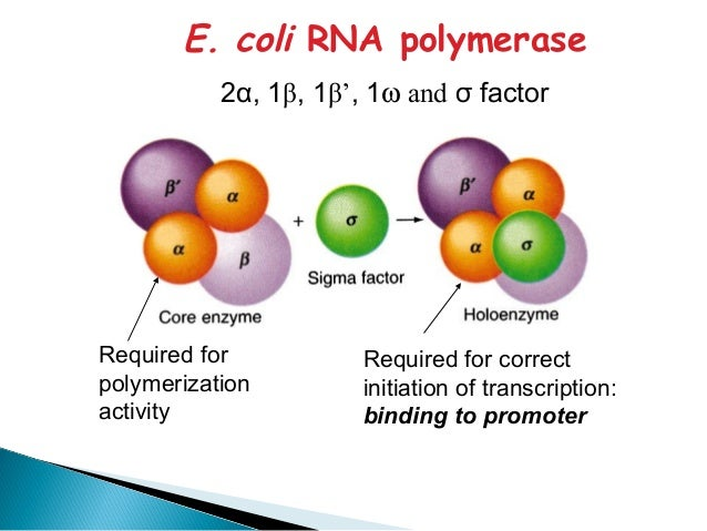 the role of rna polymerase and