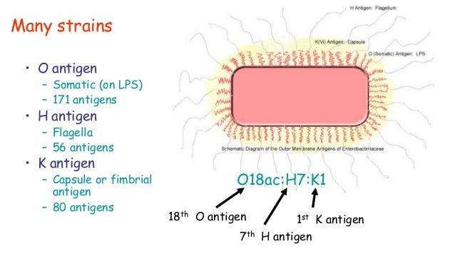 K Antigen Bacteria E.coli 0000