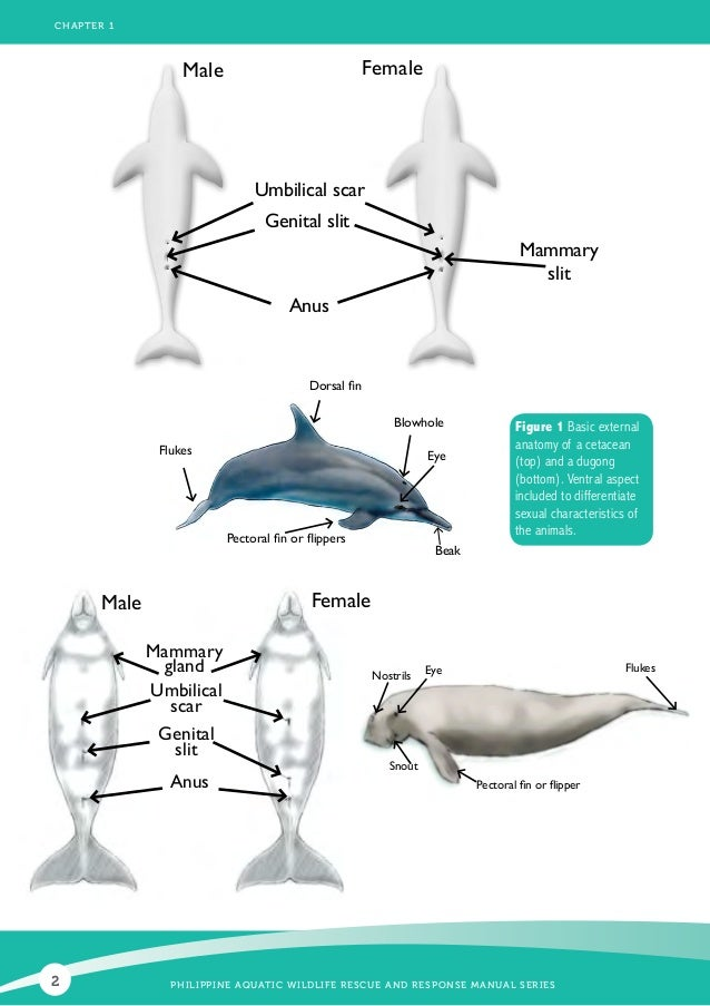 The Pictures For Male Dolphin Reproductive System