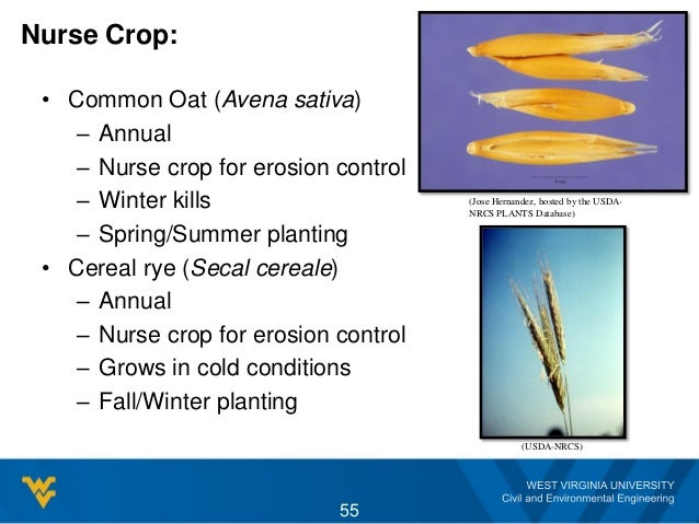 Nurse Crop: • Common Oat (Avena sativa) – Annual – Nurse crop for erosion control – Winter kills – Spring/Summer planting ...