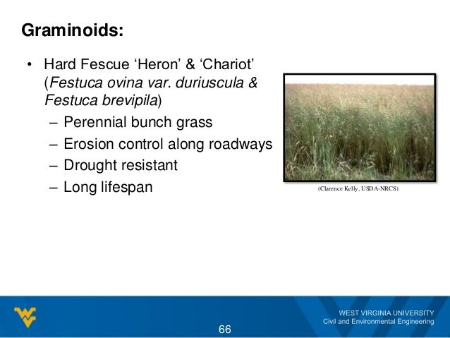 • Hard Fescue 'Heron' & 'Chariot' (Festuca ovina var. duriuscula & Festuca brevipila) – Perennial bunch grass – Erosion co...