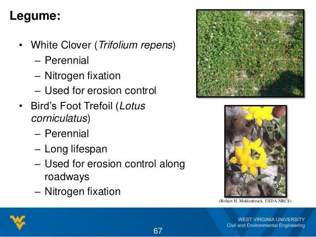 Legume: • White Clover (Trifolium repens) – Perennial – Nitrogen fixation – Used for erosion control • Bird's Foot Trefoil...