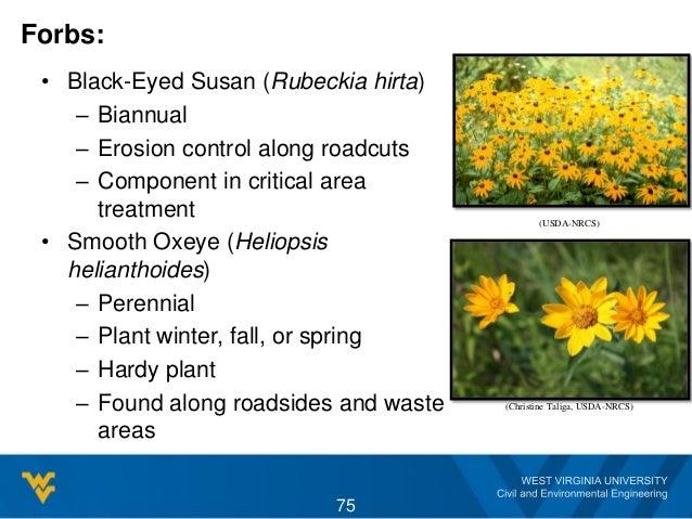 Forbs: • Black-Eyed Susan (Rubeckia hirta) – Biannual – Erosion control along roadcuts – Component in critical area treatm...