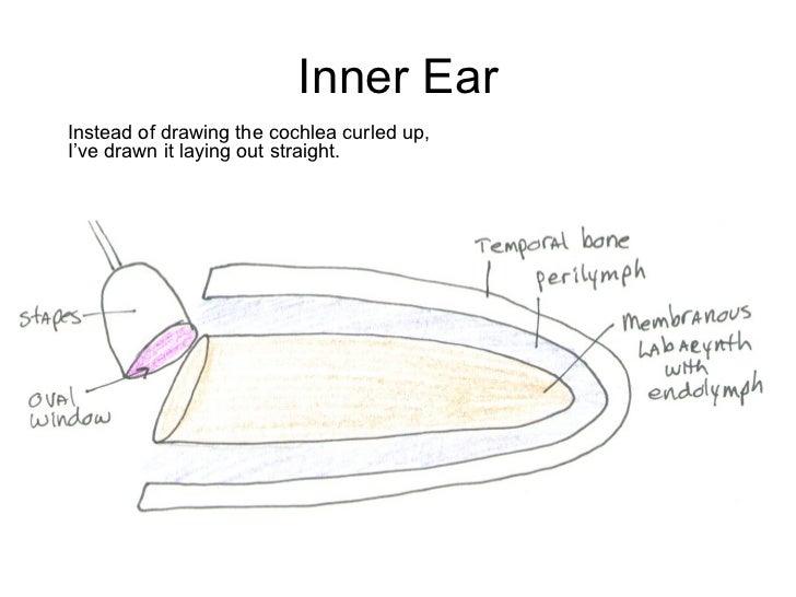 Ear anatomy vestibulocochlear nerve 13 inner ear instead of drawing ccuart Choice Image