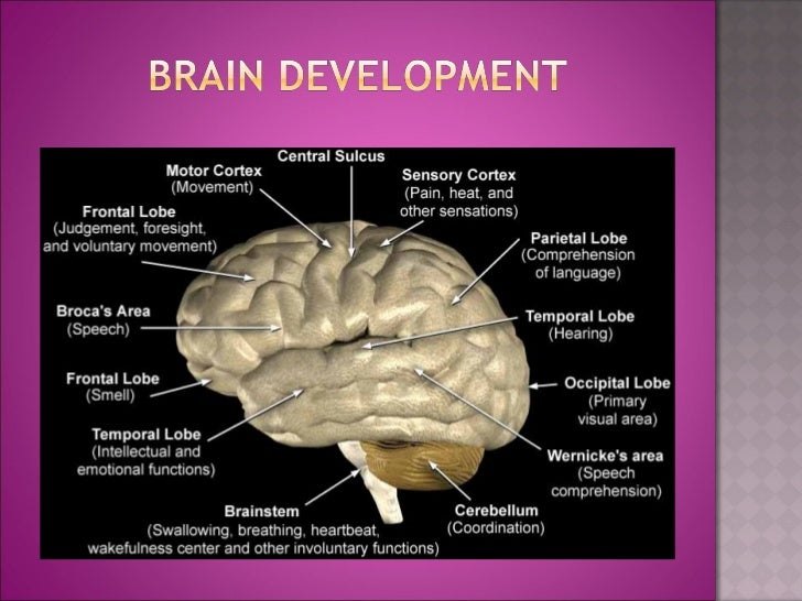 early childhood trauma and brain development