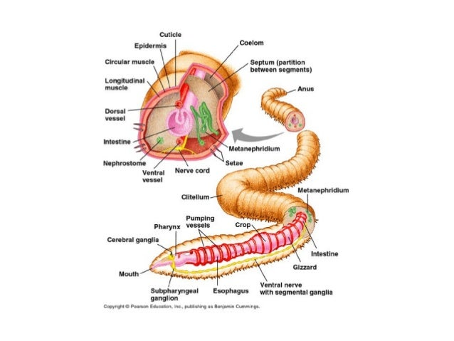 Earthworm Anatomy Diagram For Middle School - Electrical Work Wiring ...