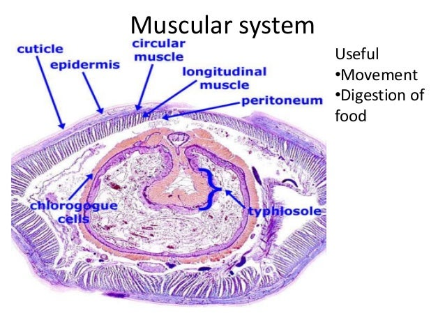 Earthworm Musculoskeletal Diagram Complete Wiring Diagrams